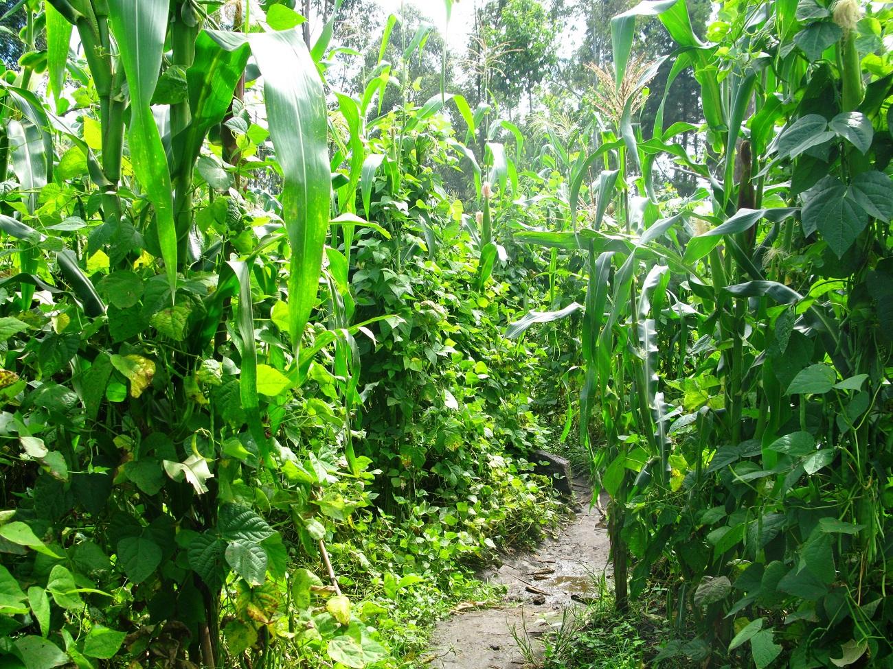 Association végétale : la milpa